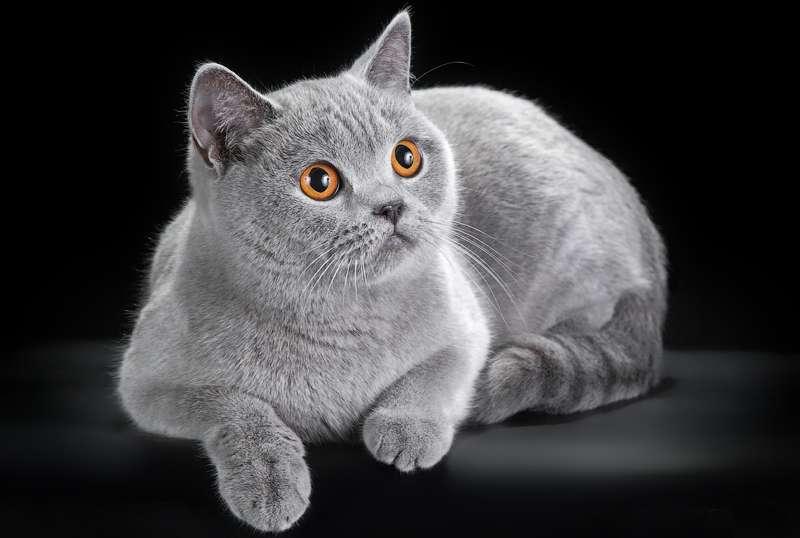 кот британец голубого окраса