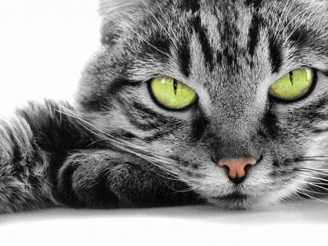Кот хромает на переднюю лапу что делать. Причины, почему кот хромает на лапу, и грамотное поведение хозяина при этом Кот стал хромать на переднюю лапу