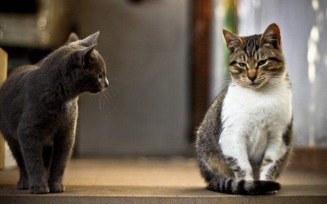 Кот и кошка в доме, влечение кота