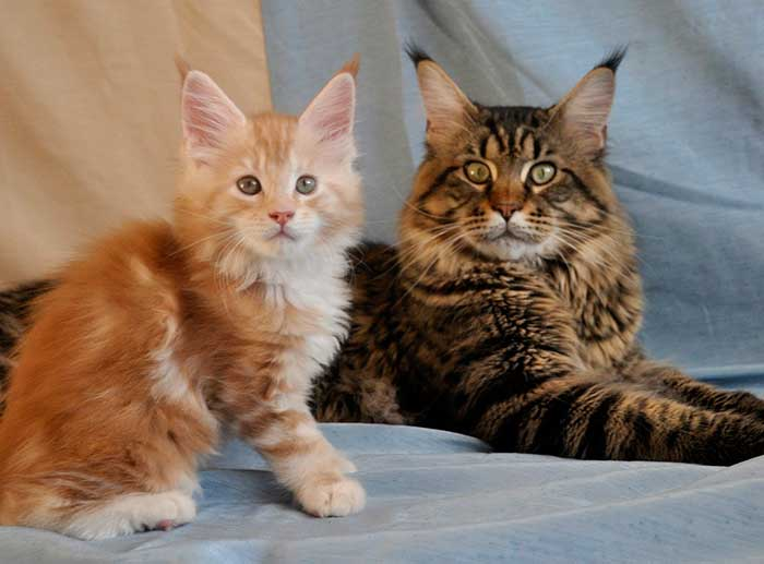 кот и котенок сейн-кун