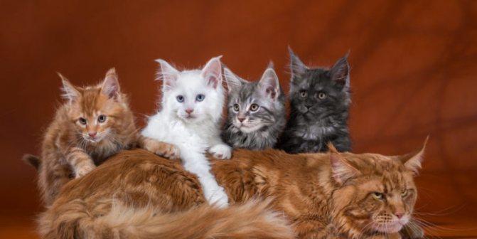 Кот и котята мейн-кун