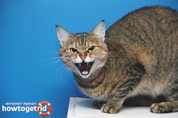 Кот или кошка шипит на хозяина — что делать? - ZdavNews