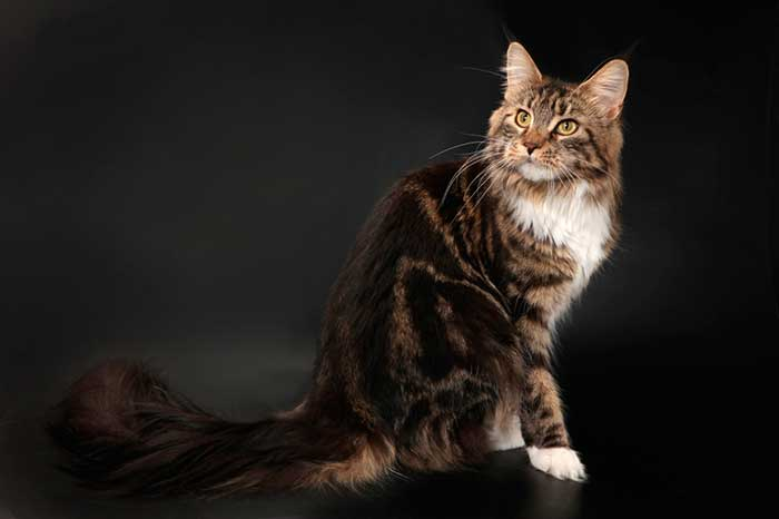 Кот лесного окраса