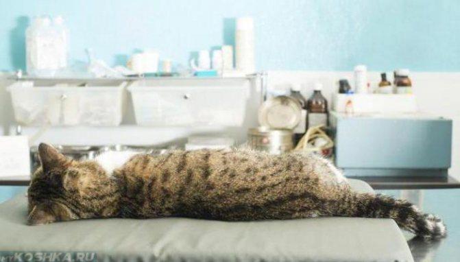 Кот лежит спиной на хирургическом столе