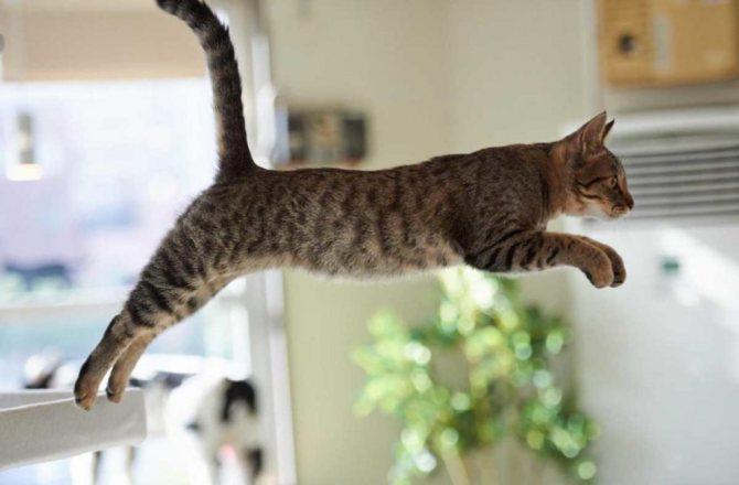 Кот может переоценить свое состояние и отправиться покорять тумбочки