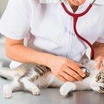 Кот на осмотре у доктора