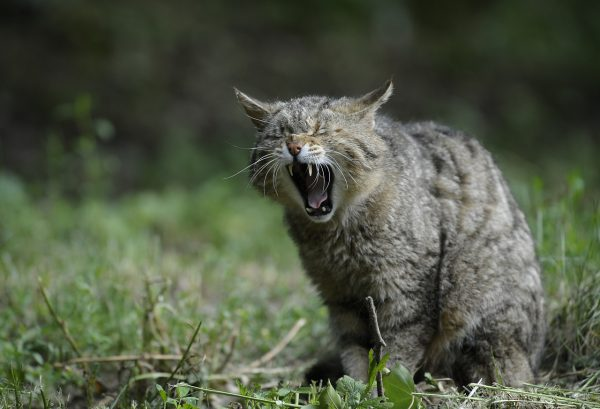 Кот не может прокашляться