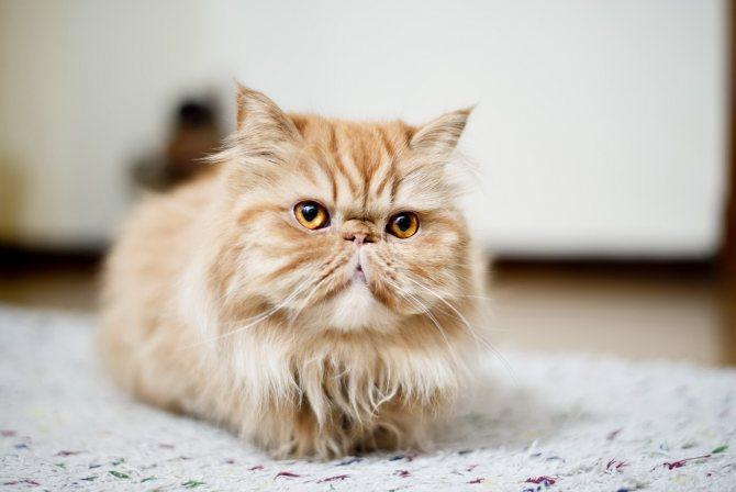Кот персидской породы.