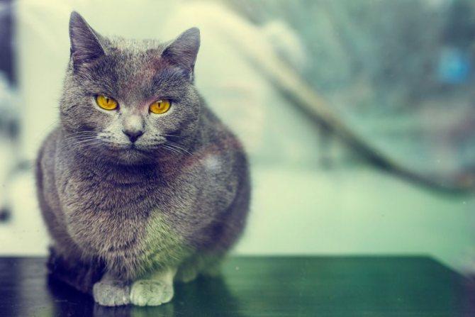 Кот породы шартрез фото.jpg