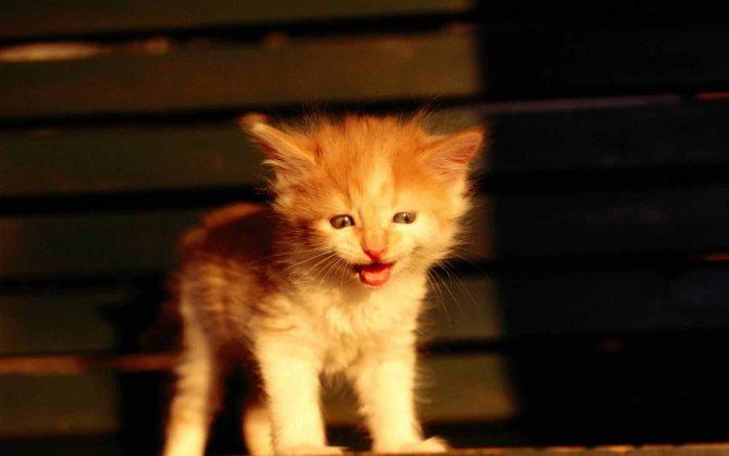 Кот постоянно кричит ищем причину
