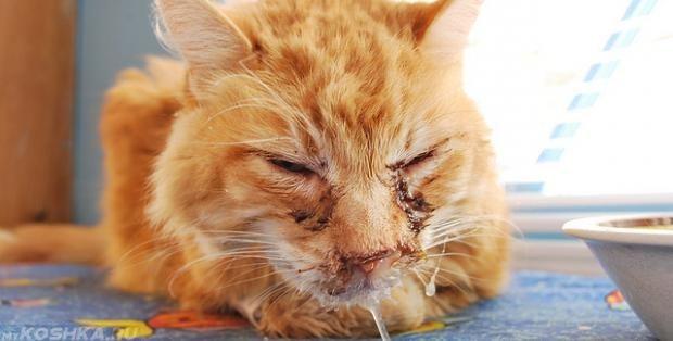 Кот с микоплазмозом на морде
