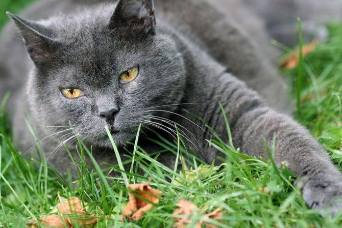 Кот шартрез.jpg