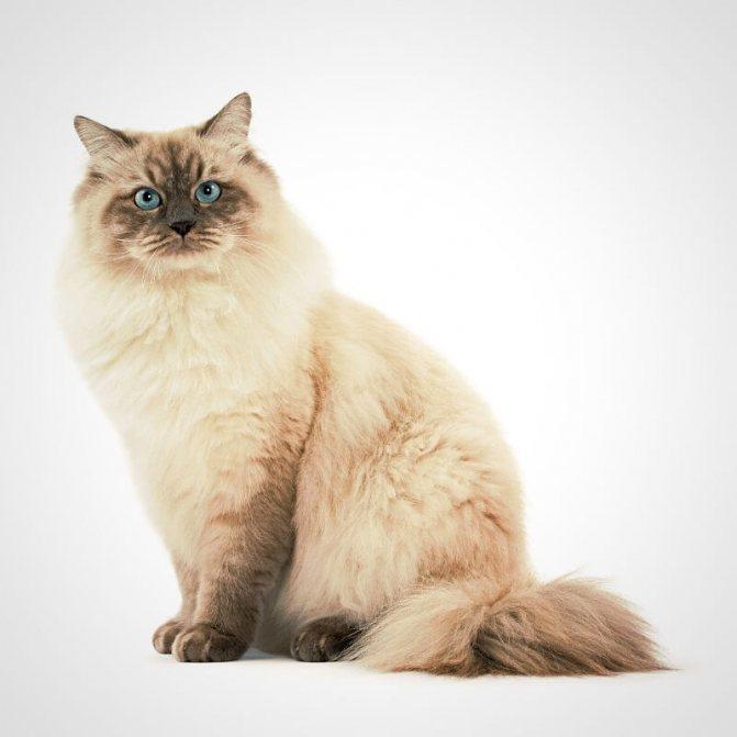 кот сибирский колор-поинт