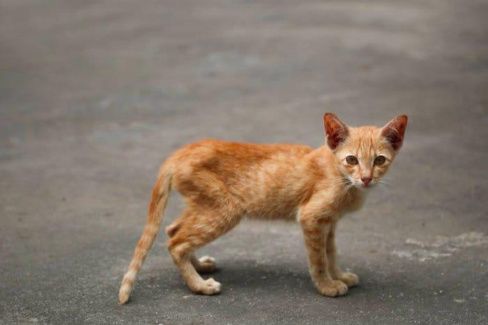 Кот в крайней худобе и истощении