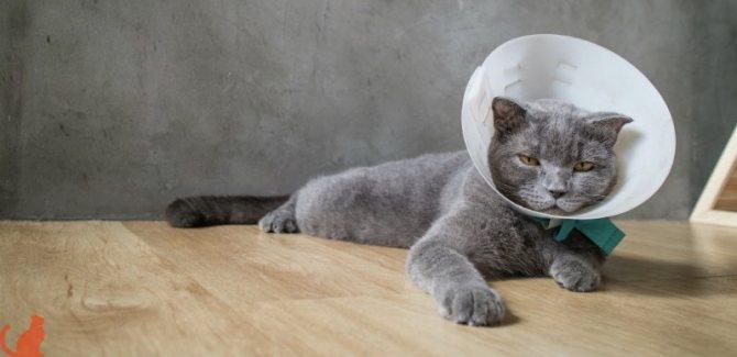 кот в воротнике