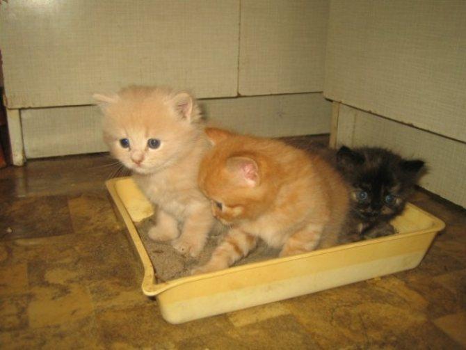 Котенку нужен низкий горшок, чтобы он смог без труда в него забираться.