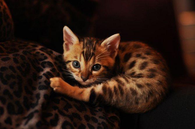 Котёнок азиатской табби.jpg