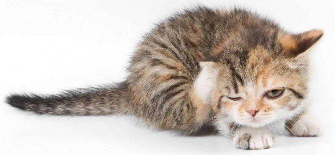 котенок чешет уши