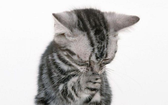 Котенок чихает при насморке