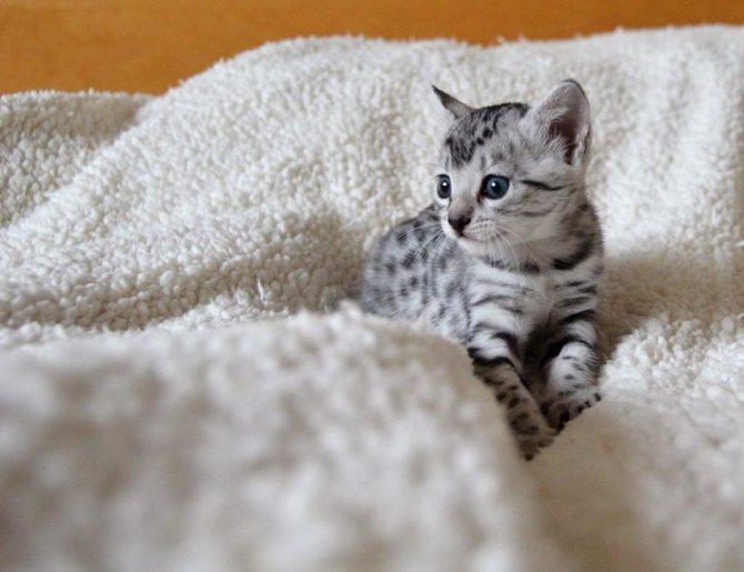 котенок египетская мау