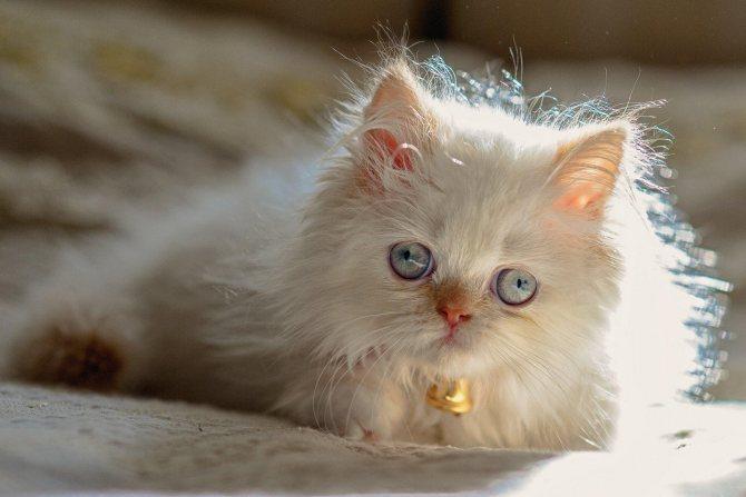 Котёнок гималайской кошки