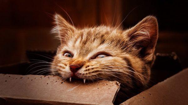 Котёнок, грызущий картонку