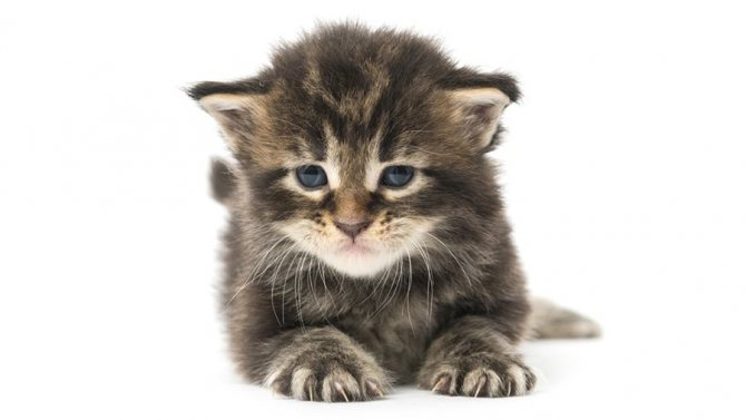 Котенок мейн-кун