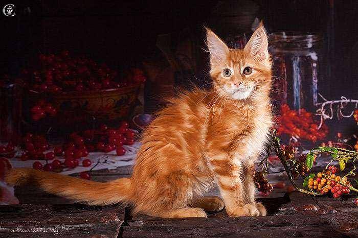 Котенок мейн-куна рыжего (красного) окраса, фото фотография кошки