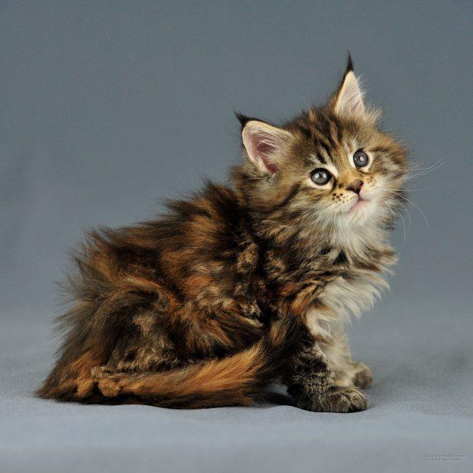 котенок мейн куна