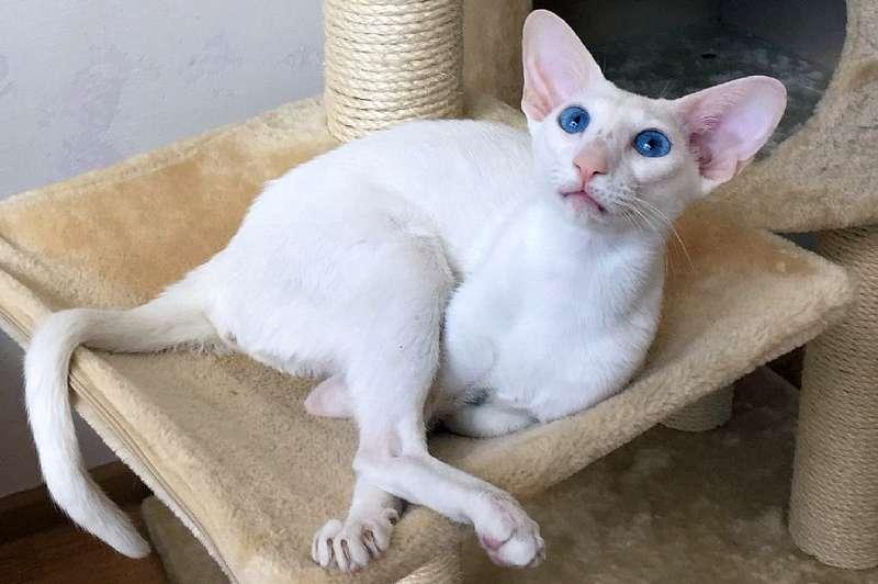 котенок ориентальной породы белого окраса