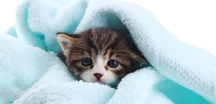 котенок под покрывалом
