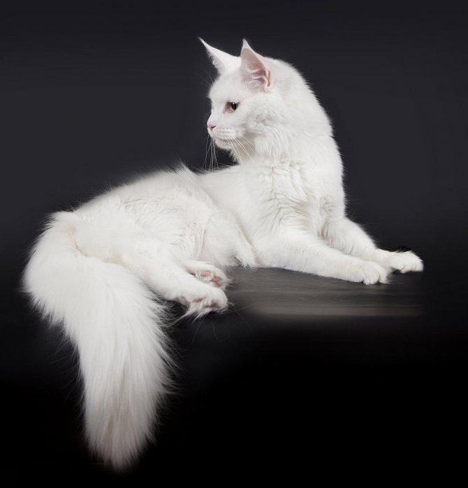 Котенок-подросток мейн-кун