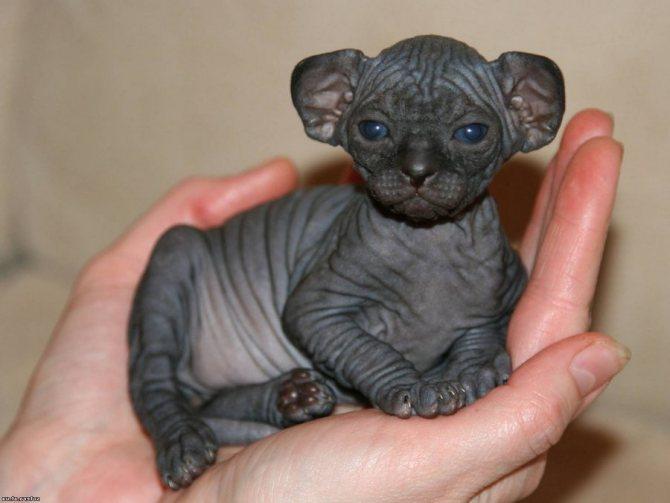 Котенок породы канадский сфинкс