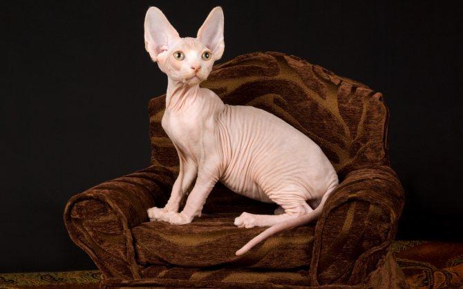 Котенок сфинкс в год.