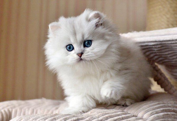 котенок скоттиш страйт длинношерстый