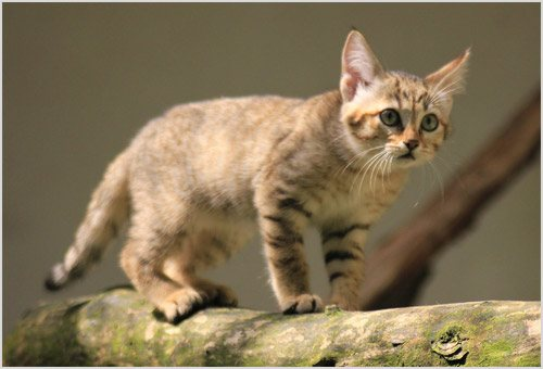 Котенок степной кошки