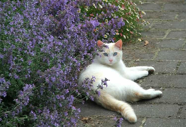 Котовник обязан своим названием кошкам, которых очень привлекает его запах.