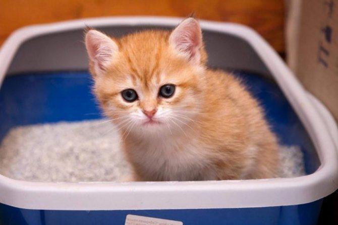 Коты - чистоплотные питомцы, поэтому котенок очень быстро приучается ходить на лоток.