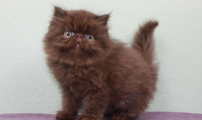 коты коричневого цвета