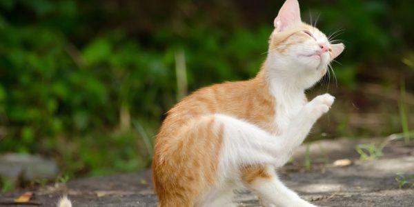 Коты начинают чесаться, когда у них появляются блохи