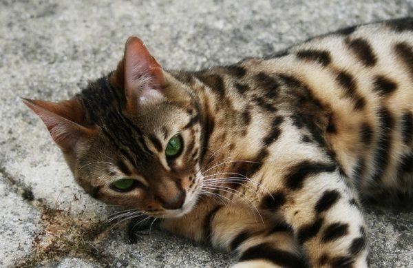 Котята бенгальской породы рождаются с весом от 70 до 120 г.