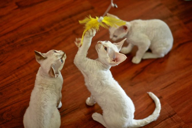Котята девон-рексы играют