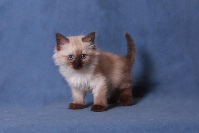 Котята и кошки невская маскарадная