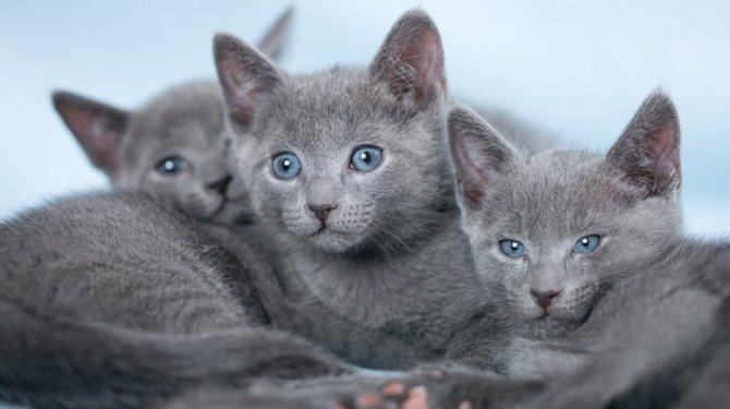 Котята русской голубой кошки