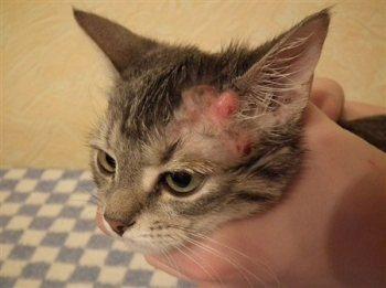 Кожные заболевания у кошек: фото, признаки и лечение, описание ...
