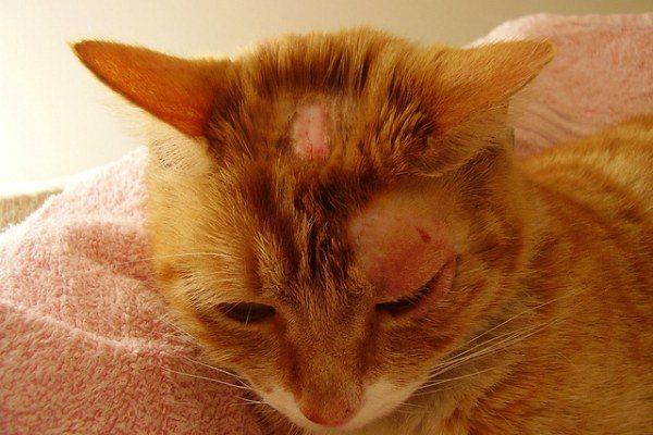 кожные заболевания у кошки