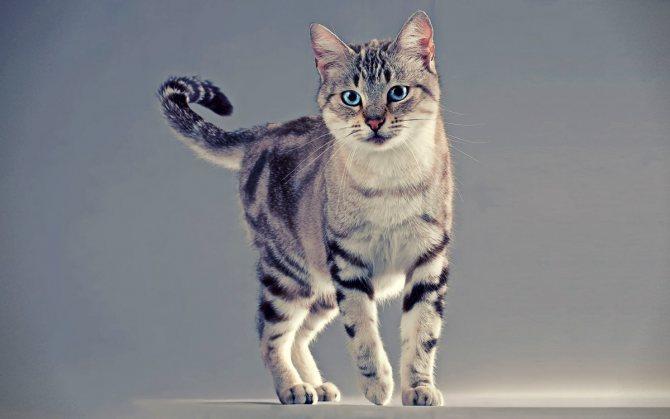 Красивая кошка табби