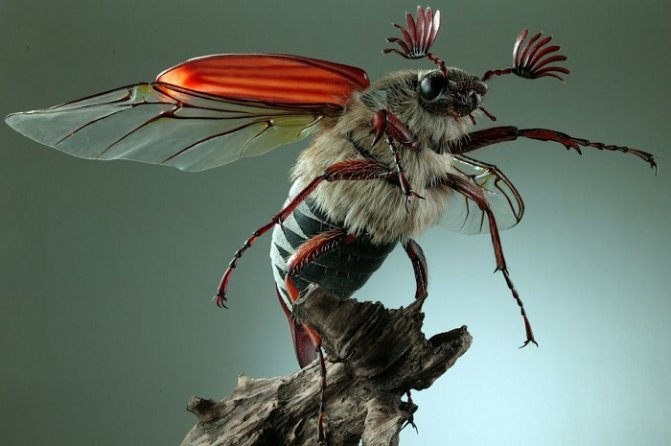 Красивый майский жук