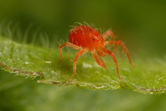 Красная разновидность паутинного клеща
