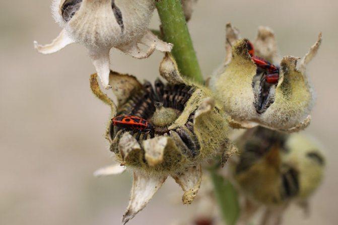 Красноклоп (садовый клоп) наносит непоправимый вред растениям
